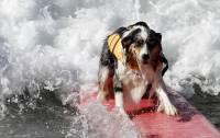В Калифорнии прошли соревнования по серфингу среди собак. Хорошо, что хозяева не додумались учить их прыгать с прашютом