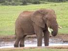 Вы не поверите. В корейском зоопарке живет слон, который умеет разговаривать
