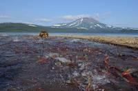 Бурые медведи дерутся за рыбу на Курильском озере