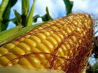 Вытеснит ли канадская кукуруза украинскую?