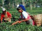 В Индии назревает «чайная революция»: одного из угнетателей сожгли заживо