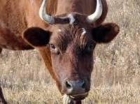 На Ивано-Франковщине взбесилась корова. Животное пришлось сжечь