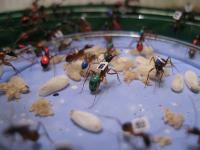 Ученые выяснили, что муравьи со временем становятся карьеристами. То же можно сказать и о пчелах