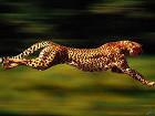 Ученые выяснили, что удачно охотиться гепарду позволяет совсем не сумасшедшая скорость
