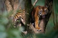 Убив тигренка, охотники… три дня просидели на дереве, спасаясь от разъяренных тигров