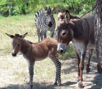 То ли чувства сильные, то ли вольеры хлипкие. В итальянском зоопарке родился плод запретной любви зебры и ослицы
