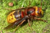 В Днепропетровске появились гигантские осы, укус которых может оказаться смертельным