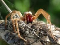 В Днепропетровской области впервые обнаружен новый смертельно ядовитый вид пауков