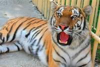 Никак не решаетесь завести собаку? А в бразильской семье как-то сами собой прижились… семь тигров