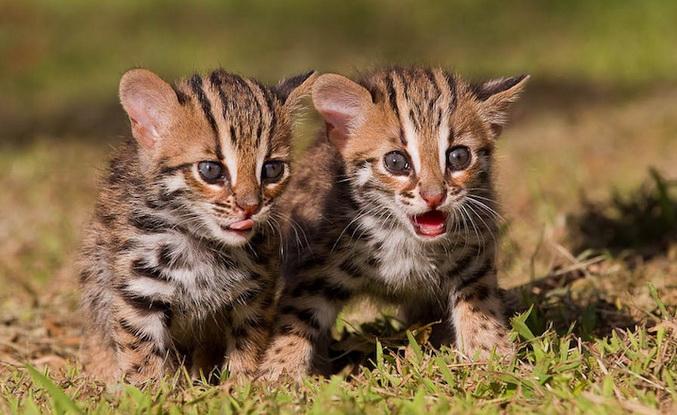 Эти милые кошечки когда вырастут