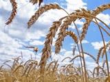 Янукович радостно сообщил, что украинцы вырастили зерновых и подсолнечника в разы больше, чем им самим нужно