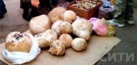 На Одесщине продают гигантские 7-килограммовые грибы