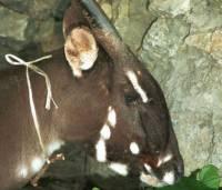 Ученые нашли во Вьетнаме редчайшее животное – «азиатский единорог»