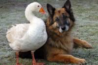Подружившись с гусем, немецкая овчарка спаслась от усыпления