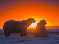 Оказывается, белые медведи любят наслаждаться закатом. А мы при этом можем наслаждаться ими