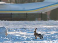 Заяц Виталик ежедневно встречает самолеты в Жулянах