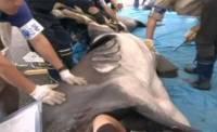 У берегов Японии поймали уникальную акулу. Фоторепортаж с места событий