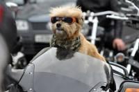 В России у собаки-байкера угнали мотоцикл