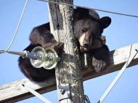 В Канаде медведь, спасаясь от своры собак, залез... на опору ЛЭП