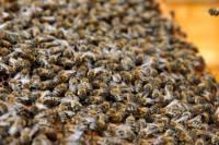 Американка долгое время жила с 50 тысячами пчел. Пока соседям это не надоело