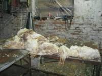 Зрелище не для слабонервных. На Киевщине правоохранители накрыли цех по переработке дохлой курицы