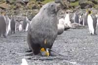 Изнасилование пингвинов морскими котиками очень озадачило ученых