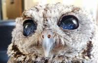 В США живет уникальная сова со «звездными» глазами