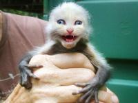Американка скрестила кошек и обезьян. К счастью, только в фотошопе