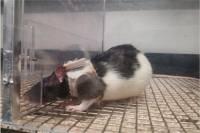 Ученые разгадали загадку привлекательности женского белья с помощью... крысы