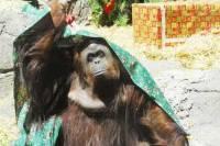 Суд Аргентины признал, что самка орангутанга, проживающая в зоопарке, «должна обладать такими же правами, как и человек»