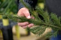 Ученые задумались о спасении хвои на новогодних елках