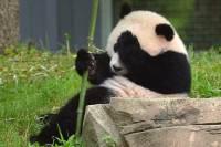Ученые предупреждают, что пандам грозит вымирание