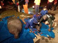 Спасатели освободили 19 морских коров, застрявших в трубе у побережья Флориды