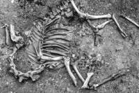 Археологи впервые раскопали в Европе скелет боевого верблюда