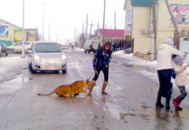ФОТО: В РФ цирковой лев на выгуле напал на ребенка