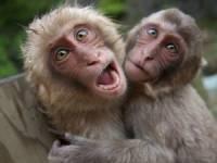 Китайский хирург решил пересадить мартышкам... головы