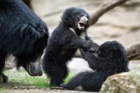 Китаец два гора растил щенков, которые оказались… медведями