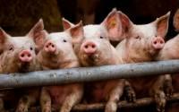 Борьба с африканской чумой свиней может затянуться до 2017 года