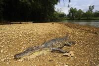 Американские санкции поставили на грань вымирания крокодилов в Гондурасе