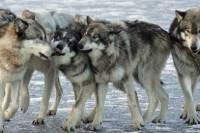 Под Мариуполем местных жителей терроризируют целые стаи волков