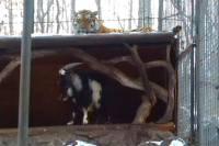 Пока Россия ссорится со всем миром, в приморском зоопарке тигр подружился с тем, кого должен был съесть