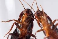 Ученые поняли, как тараканы борются с одиночеством. Но лучше бы они этого не делали