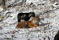 Ученый предположил, что тигр не ест козла в зоопарке, потому что тот просто не считает себя жертвой