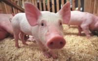 На Полтавщине зафиксирована вспышка африканской чумы свиней
