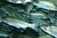 В Крыму не осталось воды на содержание рыбопитомников