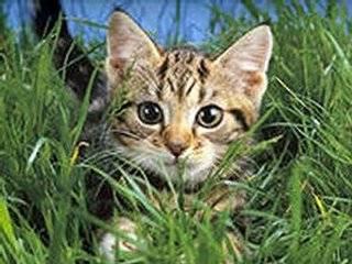 Шведские ученые обещают через пять лет понять язык кошек
