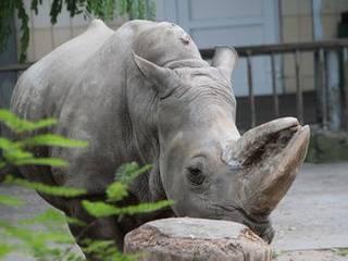 В Киевском зоопарке умер самый старый белый носорог в Европе