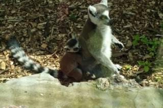 Из Черкасского зоопарка пропал без вести детеныш лемура