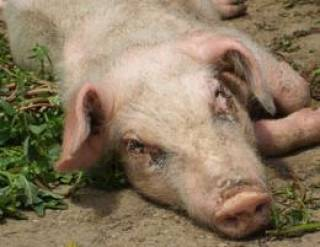 Из-за теплового удара 671 свинья погибла на Ивано-Франковщине