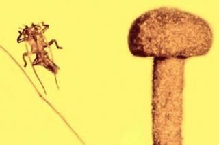 В древнем янтаре найдены следы жука-беглеца